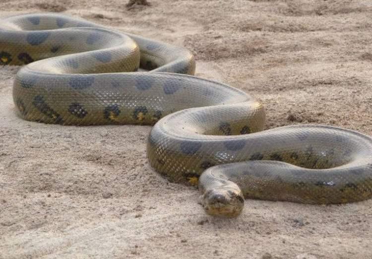 çok büyük yılan görmek