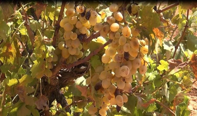 çürük üzüm toplamak