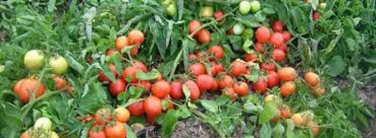 domates tarlası görmek