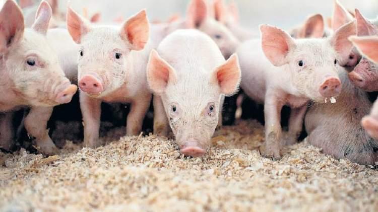 domuz öldürmek