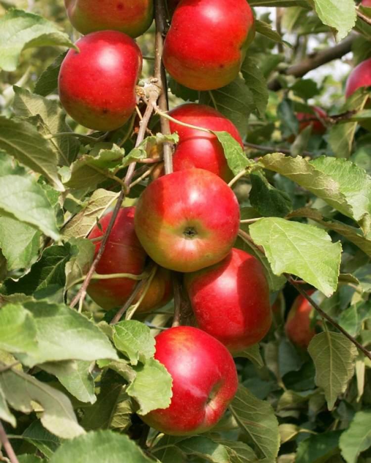 elma ağacı görmek