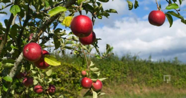 elma ağacına çıkmak