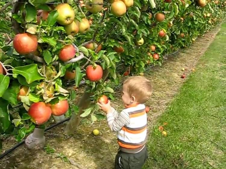 elma armut toplamak
