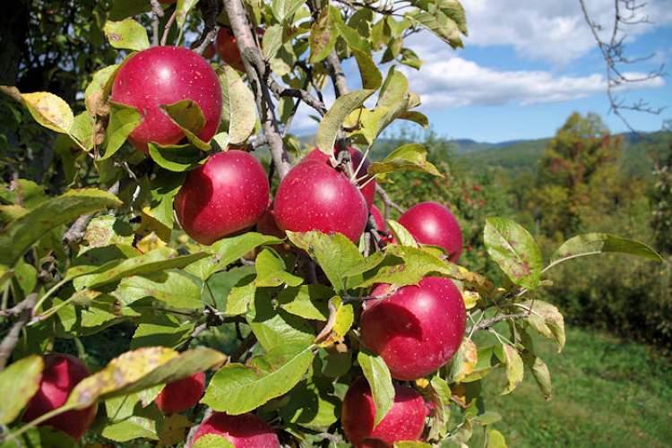 elma bahçesi görmek