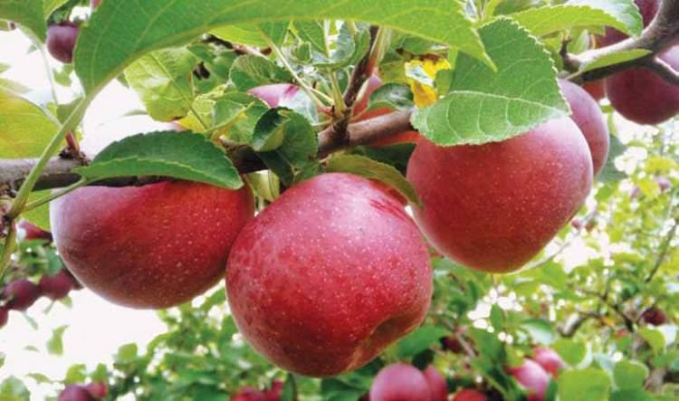 elma dağıtmak