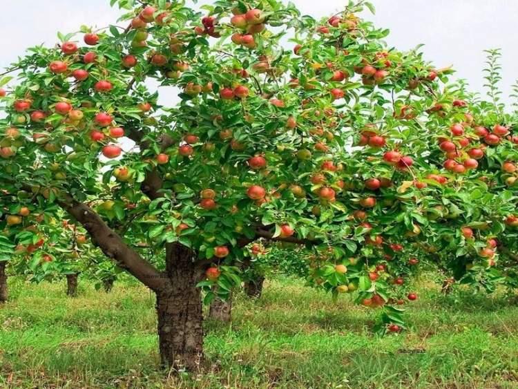 elma dolu ağaç görmek