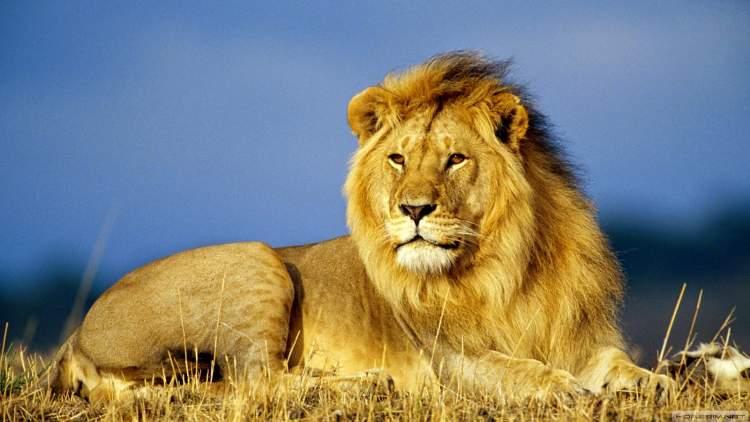 erkek aslan görmek