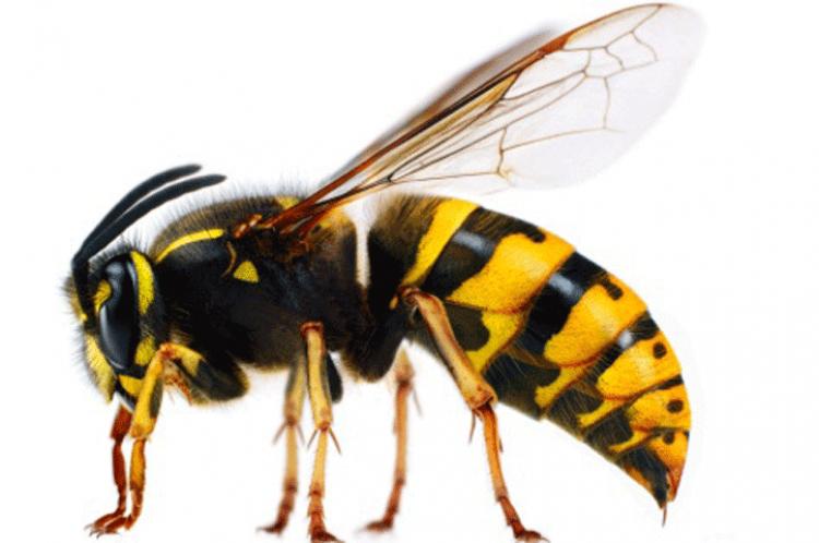 eşek arısı görmek