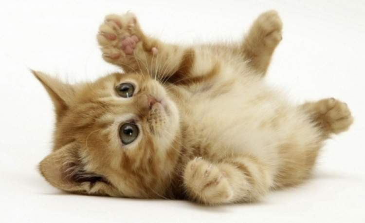Rüyada Evcil Kedi Görmek