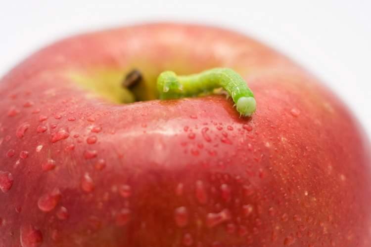 evde elma kurdu görmek