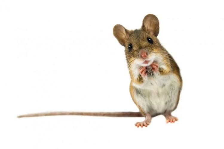 evde fare öldürmek