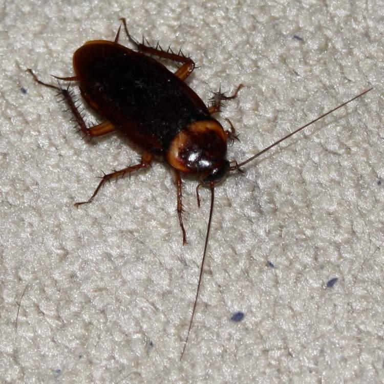 Rüyada Evde Hamam Böceği Görmek
