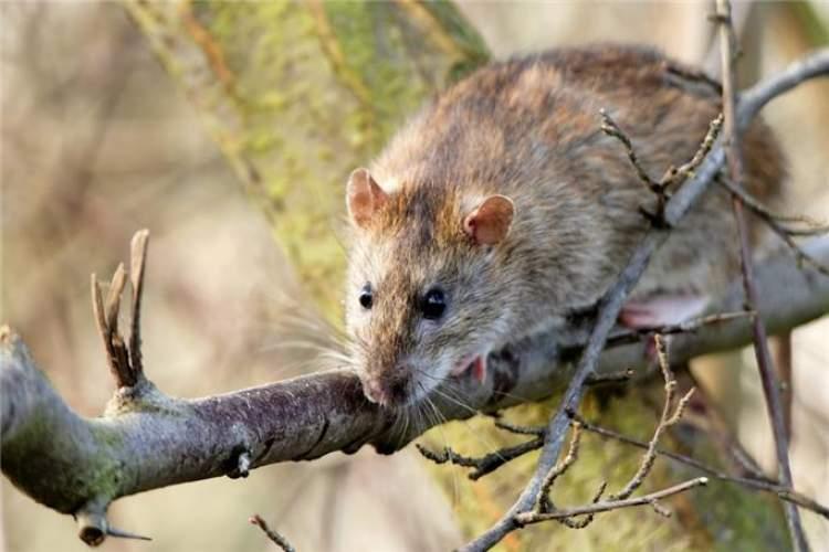 fare öldürmek görmek