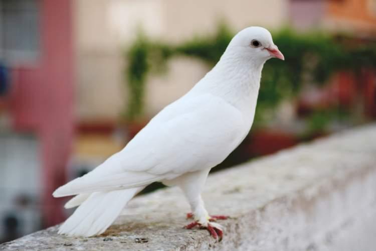 güvercin yakalamak
