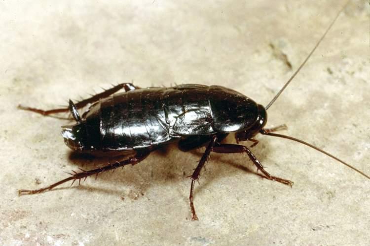 Rüyada Hamam Böceği Öldürdüğünü Görmek