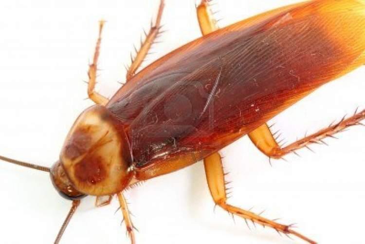 Rüyada Hamam Böceği Yemek