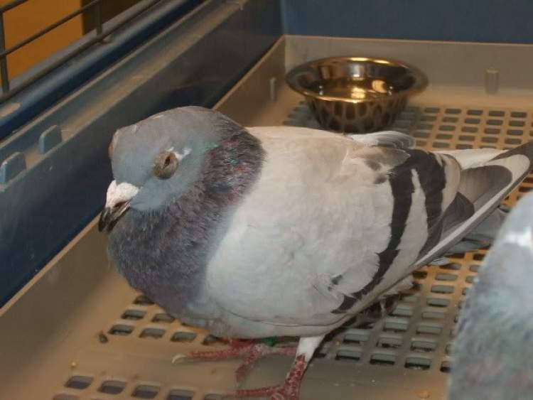 hasta güvercin görmek