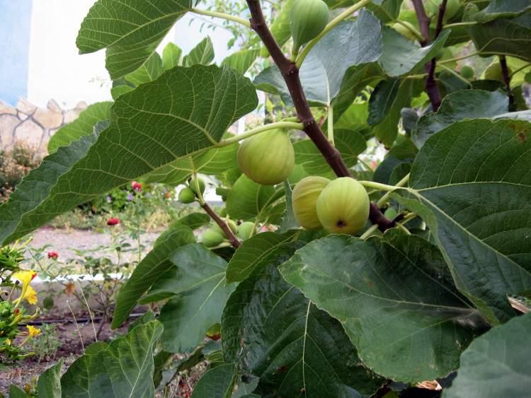 incir ağacı dikmek