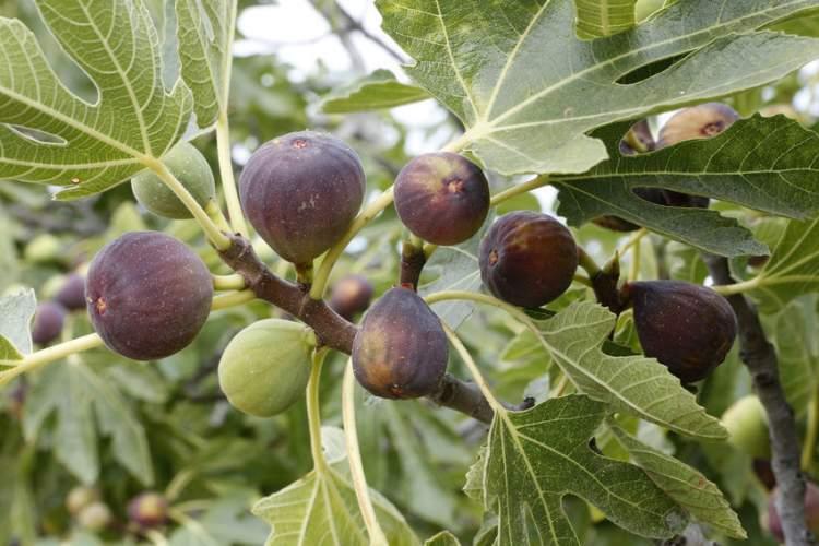 incir ağacı görmek
