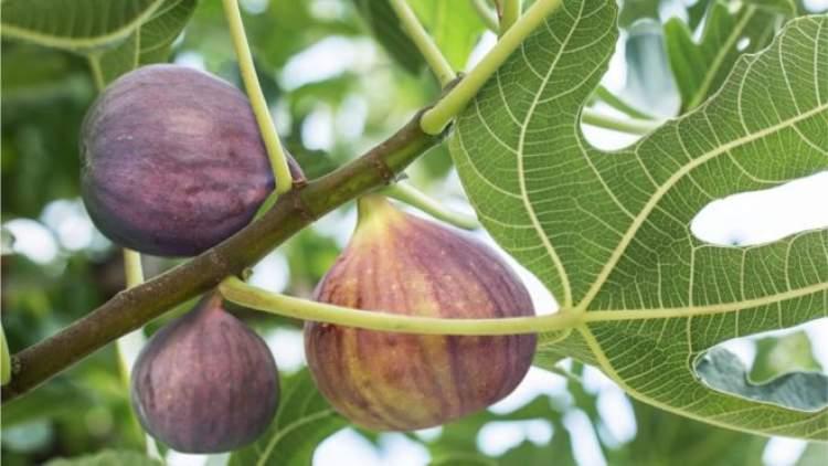 incir ağacına çıkmak