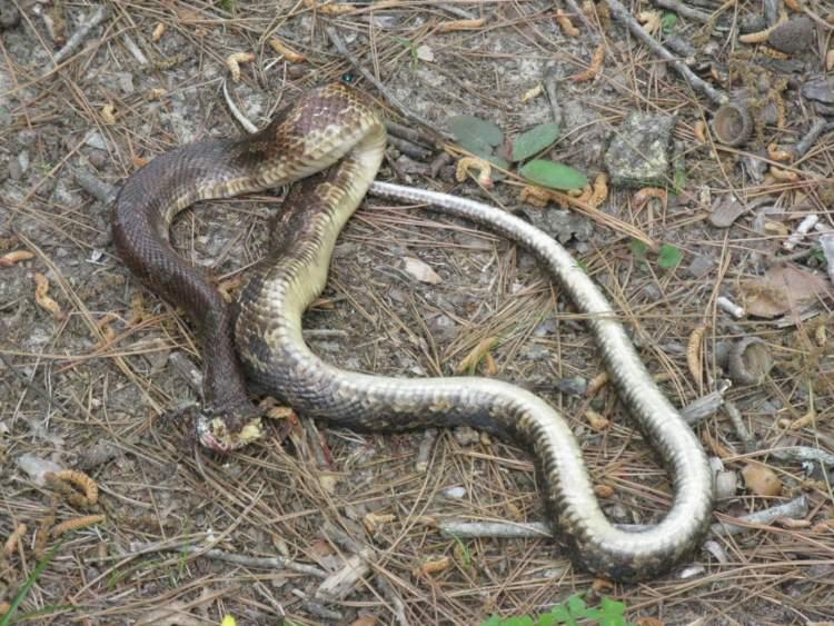kafası kopmuş yılan görmek