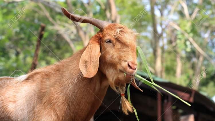 kahverengi keçi görmek