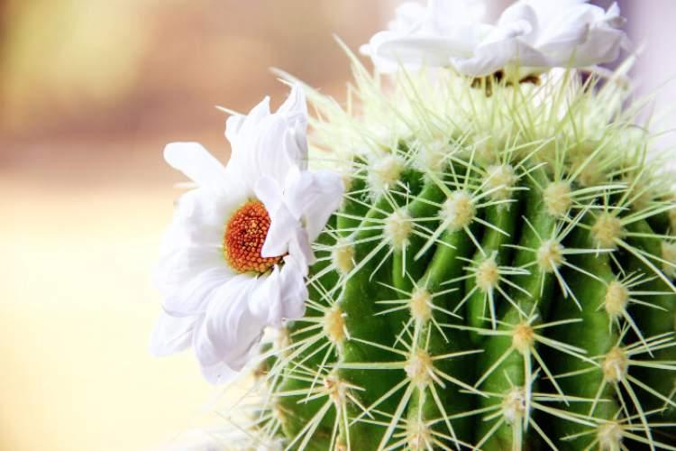 kaktüs çiçeği görmek