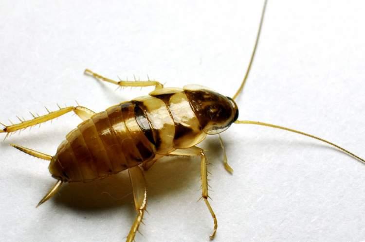 Rüyada Kalorifer Böceği Görmek