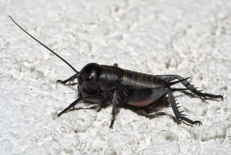 Rüyada Kara Böcek Görmek