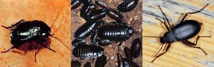 Rüyada Kara Böcekler Görmek