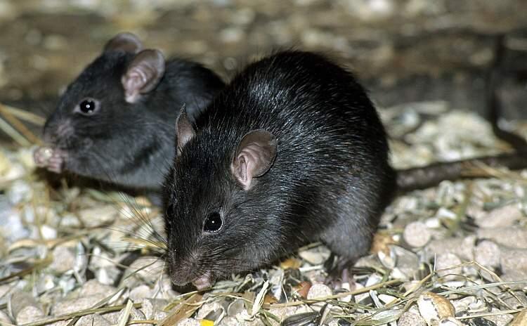 kara fare görmek
