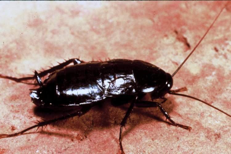 kara fatma böceği görmek