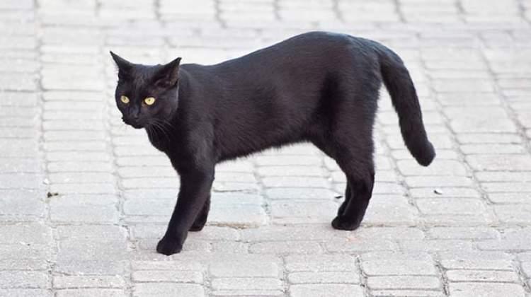 kara kedi görmek