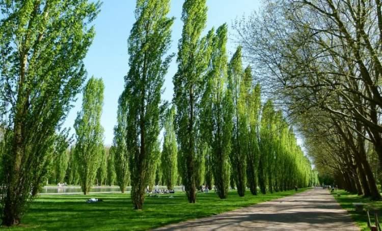 kavak ağacı görmek