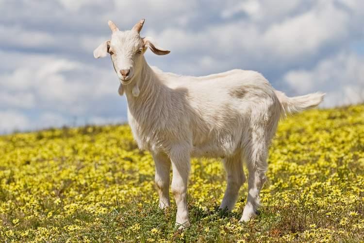keçi kesildiğini görmek