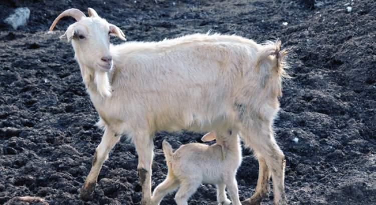 keçi koyun görmek