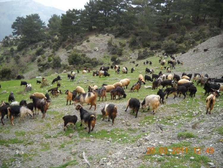 keçi sürüsü görmek