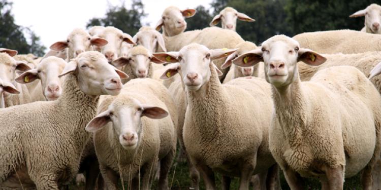 keçi ve koyun görmek
