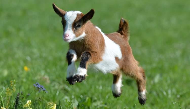 keçi yavrusu görmek
