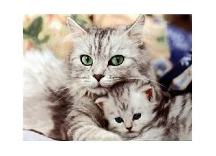 kedi yavrusu emzirmek