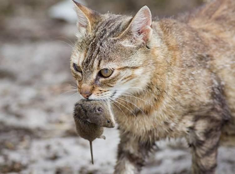 kedinin ağzında fare görmek