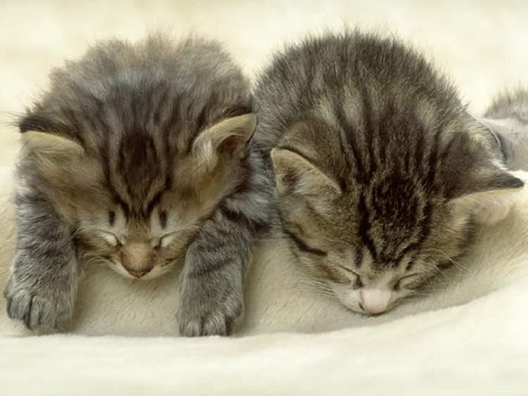 Rüyada Kedinin Doğurması