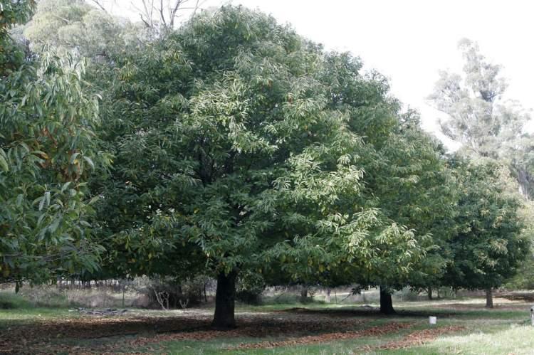 Rüyada Kestane Ağacı Görmek