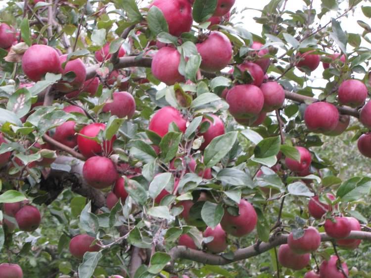 kırmızı elma ağacı görmek