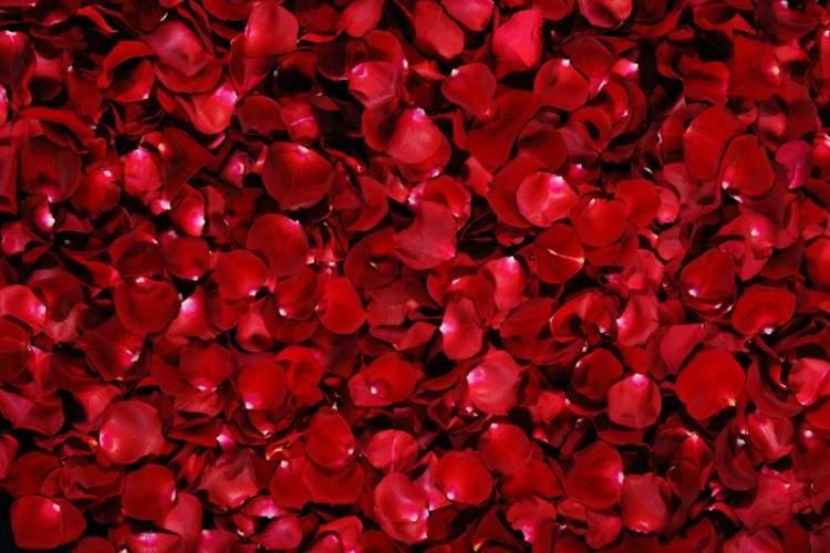 kırmızı gül yaprakları görmek