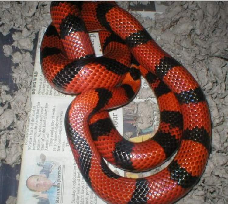 kırmızı yılan görmek
