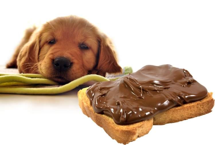 köpeğe çikolata vermek
