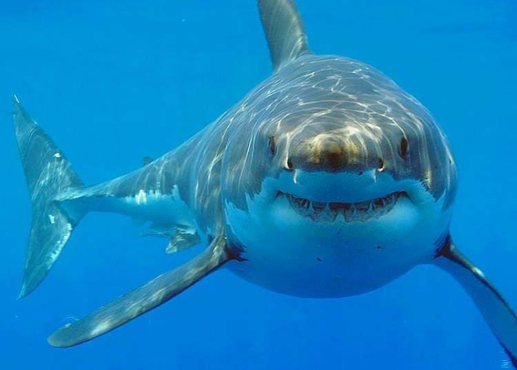 köpek balığı öldürmek