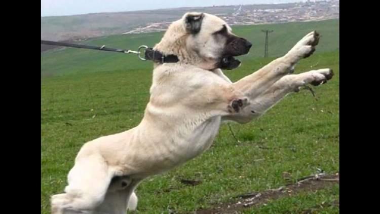 Rüyada Köpek Boğmak