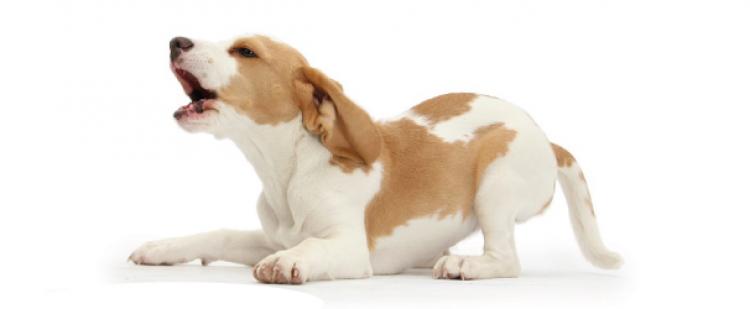 köpek havlaması